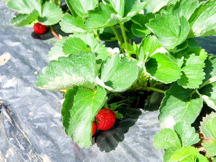 strawberry-12-min