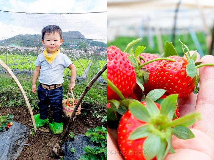 Strawberry Picking Baguio Kids La Trinidad