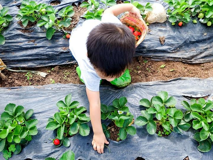 strawberry-7-min